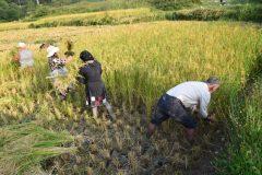 آغاز برداشت برنج از شالیزارهای بدره