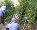 باغدار ایلامی همه ساله محصول باغ خود را به نیامندان هدیه می دهد