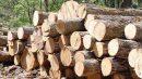 تاراج منابع طبیعی استان این بار نوبت به درختان بانکول رسید
